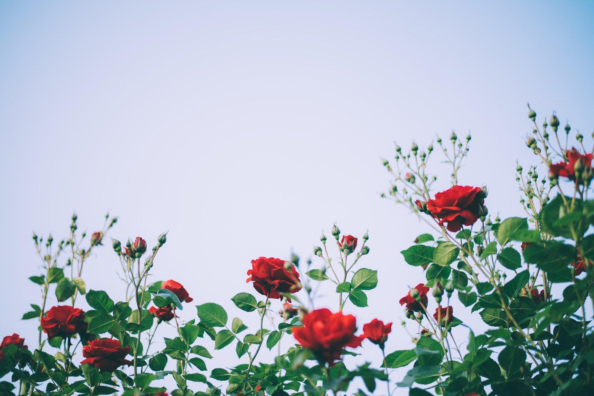 Jeder Rosengarten ist schön. Auch deiner!